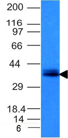 WB -  Ep-CAM / CD326 (Epithelial Marker) Antibody AH11757