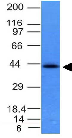 WB -  Ep-CAM / CD326 (Epithelial Marker) Antibody - With BSA and Azide AH11774-20
