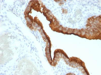 IHC -  MUC1 / EMA / CD227 (Epithelial Marker) Antibody - Without BSA and Azide AH11858-100