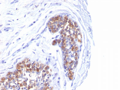 IHC -  MUC1 / EMA / CD227 (Epithelial Marker) Antibody - Without BSA and Azide AH11867-100