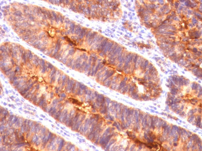 IHC -  MUC1 / EMA / CD227 (Epithelial Marker) Antibody - Without BSA and Azide AH11874