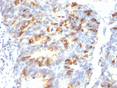 IHC -  MUC2 (Mucin 2) Antibody - Without BSA and Azide AH11889