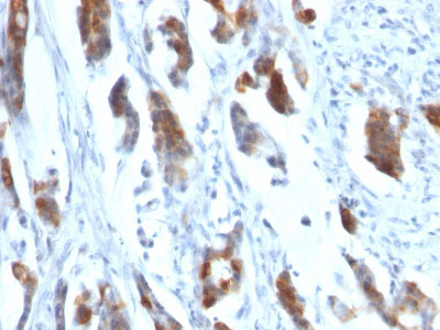 IHC -  MUC5AC (Mucin 5AC / Gastric Mucin) Antibody - Without BSA and Azide AH11905-100