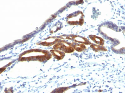 IHC -  MUC6 (Mucin 6 / Gastric Mucin) Antibody - With BSA and Azide AH11926