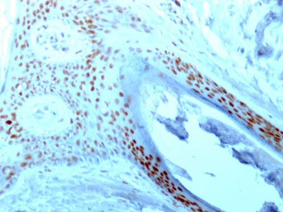 IHC -  Nucleolin (Marker of Human Cells) Antibody - With BSA and Azide AH11984-20