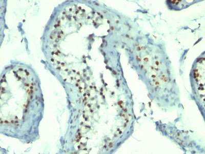 IHC -  Nucleolin (Marker of Human Cells) Antibody - With BSA and Azide AH11987