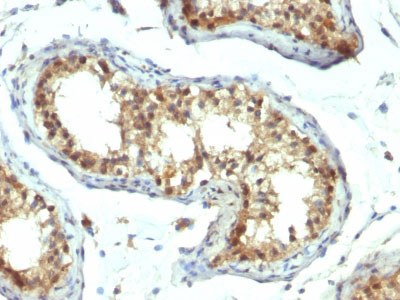 IHC -  PAX7 (Rhabdomyosarcoma Marker) Antibody - Without BSA and Azide AH12041