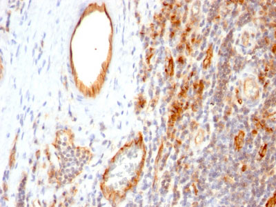 IHC -  CD31 / PECAM-1 (Endothelial Cell Marker) Antibody - Culture Supernatant  AH12067-01
