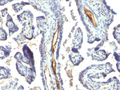 IHC -  Podocalyxin (PODXL) (Hematopoietic Stem Cell Marker) Antibody - With BSA and Azide AH12088