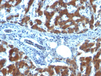 IHC -  Retinol Binding Protein-1 (RBP1) Antibody - With BSA and Azide AH12231-20
