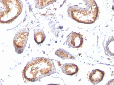 IHC -  gp100 / Melanosome / PMEL17 / SILV (Melanoma Marker) Antibody - With BSA and Azide AH12312-20