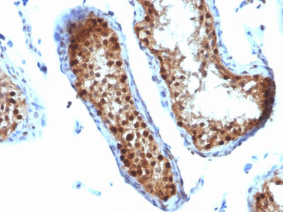 IHC -  SUMO-2 Antibody - With BSA and Azide AH12320-20