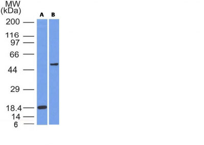 WB -  SOX10 (Melanoma Marker) Antibody - Without BSA and Azide AH12350-100