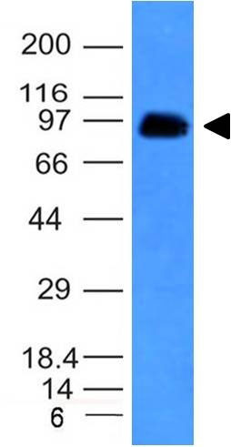 WB -  CD43 (T-Cell Marker) Antibody - With BSA and Azide AH12354-20