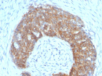 IHC -  pS2 / pNR-2 / Trefoil Factor 1 (Estrogen-Regulated Protein) Antibody AH12379