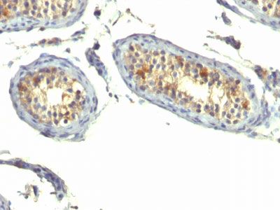 IHC -  TGF-alpha (Transforming Growth Factor alpha) Antibody - Without BSA and Azide AH12400