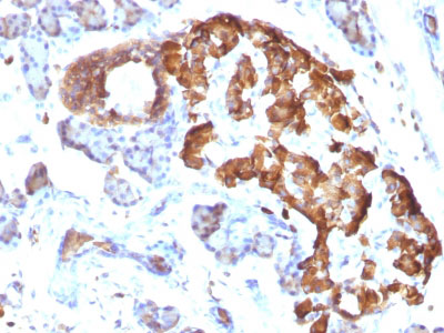 IHC -  TNF-alpha (Tumor Necrosis Factor alpha) Antibody - Without BSA and Azide AH12431