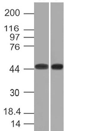 WB -  Napsin A (Lung Adenocarcinoma Marker) Antibody - Without BSA AH12718-100