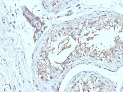 IHC -  CD63 (Late Endosomes Marker) Antibody - Without BSA and Azide AH12789-100