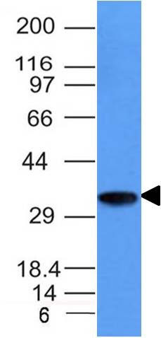 WB -  CD74 (B-Cell Marker) Antibody - With BSA and Azide AH12809-20