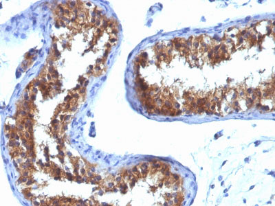 IHC -  Major Vault Protein (MVP) Antibody - Without BSA and Azide AH12835