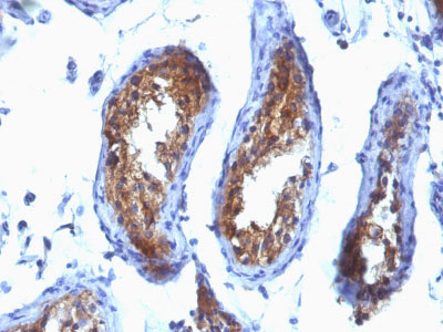 IHC -  Major Vault Protein (MVP) Antibody - Without BSA and Azide AH12838-100