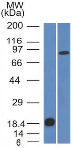 WB -  E-Cadherin / CD324 (Intercellular Junction Marker) Antibody - With BSA and Azide AH12840