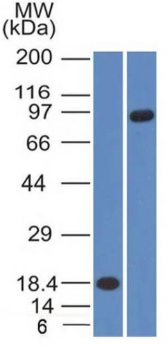 WB -  E-Cadherin / CD324 (Intercellular Junction Marker) Antibody - With BSA and Azide AH12843