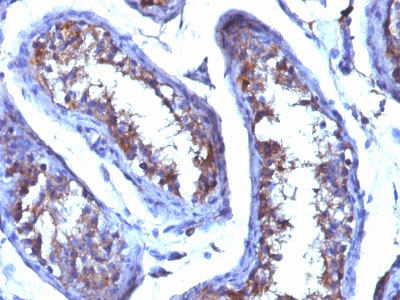 IHC -  Testosterone Antibody - Without BSA and Azide AH12863-100
