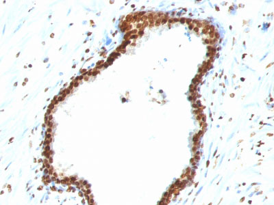 IHC -  Double Stranded DNA (dsDNA) (Nuclear Marker) Antibody - With BSA and Azide AH12900-20