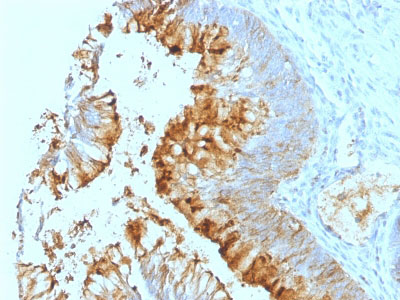 IHC -  Lewis A (Blood Group Antigen) Antibody - With BSA and Azide AH12936-20