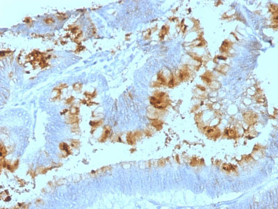 IHC -  Lewis A (Blood Group Antigen) Antibody - Without BSA and Azide AH12955