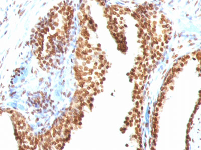 IHC -  Double Stranded DNA (dsDNA) (Nuclear Marker) Antibody AH12994