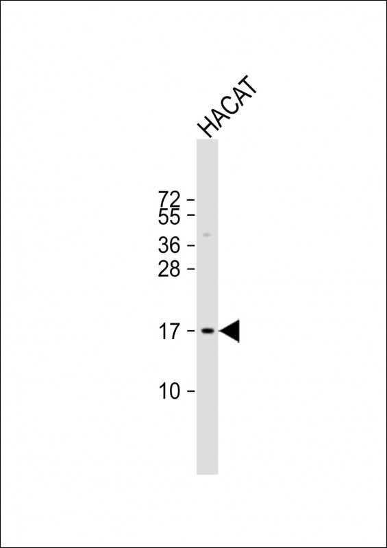 WB - NRARP Antibody (Center) AP13638c