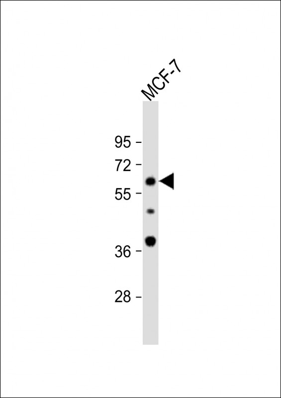 WB - APEX2 Antibody (Center) AP8975C