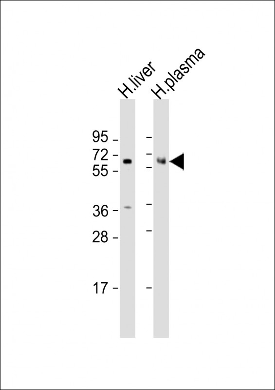 WB - PROC Antibody (Center) AP13543c