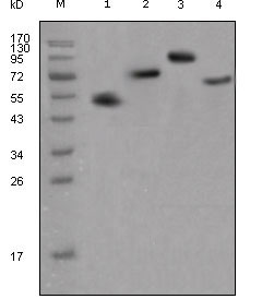 WB - human IgG(Fc Specific) Antibody AO1267a
