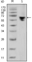 WB - human IgG (Fc Specific) Antibody AO1277a
