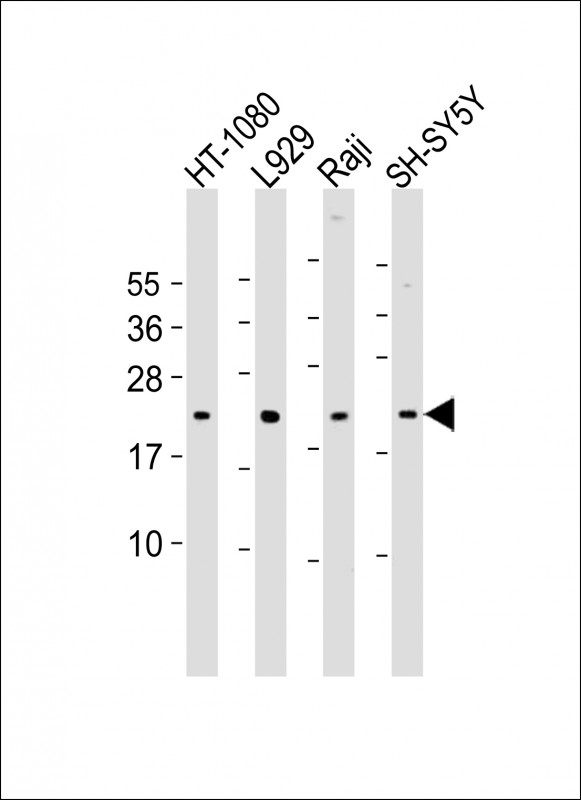 WB - Bax Antibody (BH3 Domain Specific) AP1302a