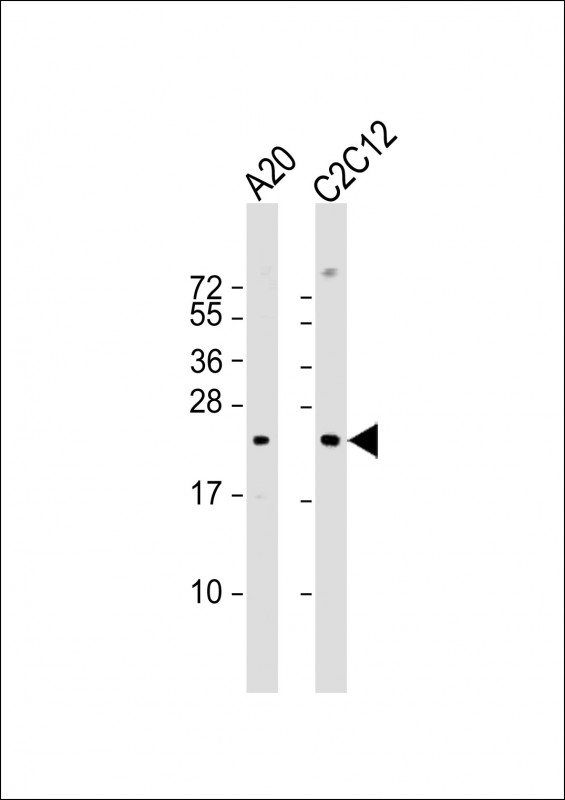 WB - Mouse BAD Antibody (Center S134) AP19245c