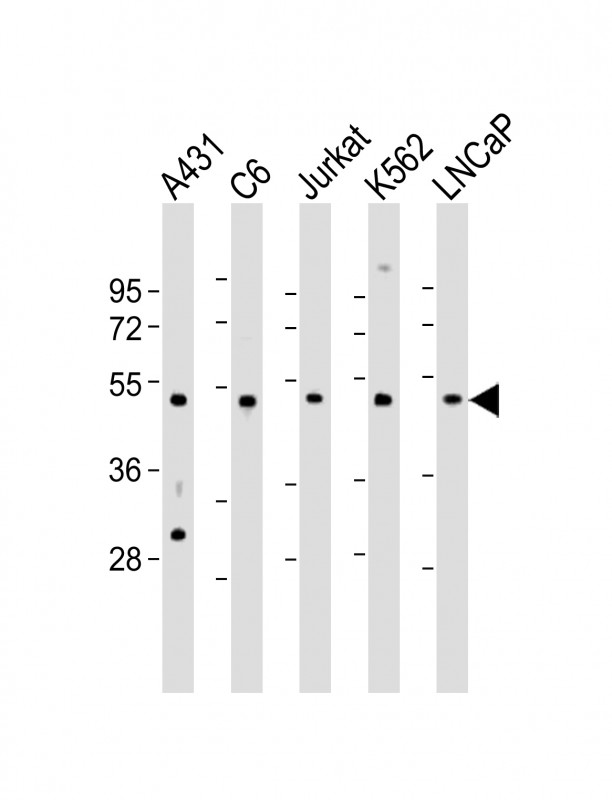 WB - CDC37 Antibody (Center) AP8965C
