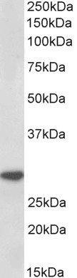WB - Goat Anti-IL-1 beta Antibody (internal region) AF4170a