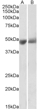 WB - Goat Anti-SERPINF1 / PEDF Antibody (internal region) AF4180a