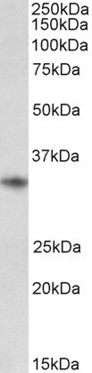 WB - Goat Anti-CD74 Antibody (internal region) AF4182a