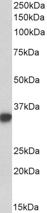 WB - Goat Anti-CD74 Antibody (internal region) AF4183a