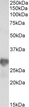 WB - Goat Anti-NNMT Antibody (internal region) AF4201a