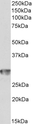 WB - Goat Anti-CD4 Antibody (internal region) AF4218a