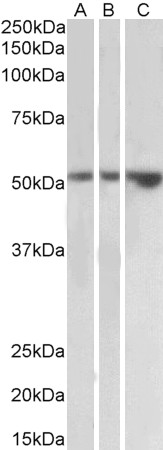 WB - Goat Anti-TIM-1 Antibody (internal region) AF4230a