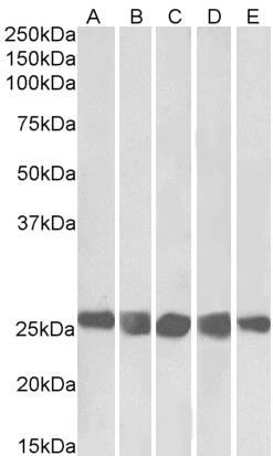 WB - Goat Anti-CSNK2B Antibody (internal region) AF4235a