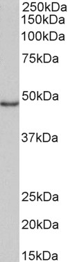 WB - Goat Anti-CD40 Antibody (internal region) AF4246a